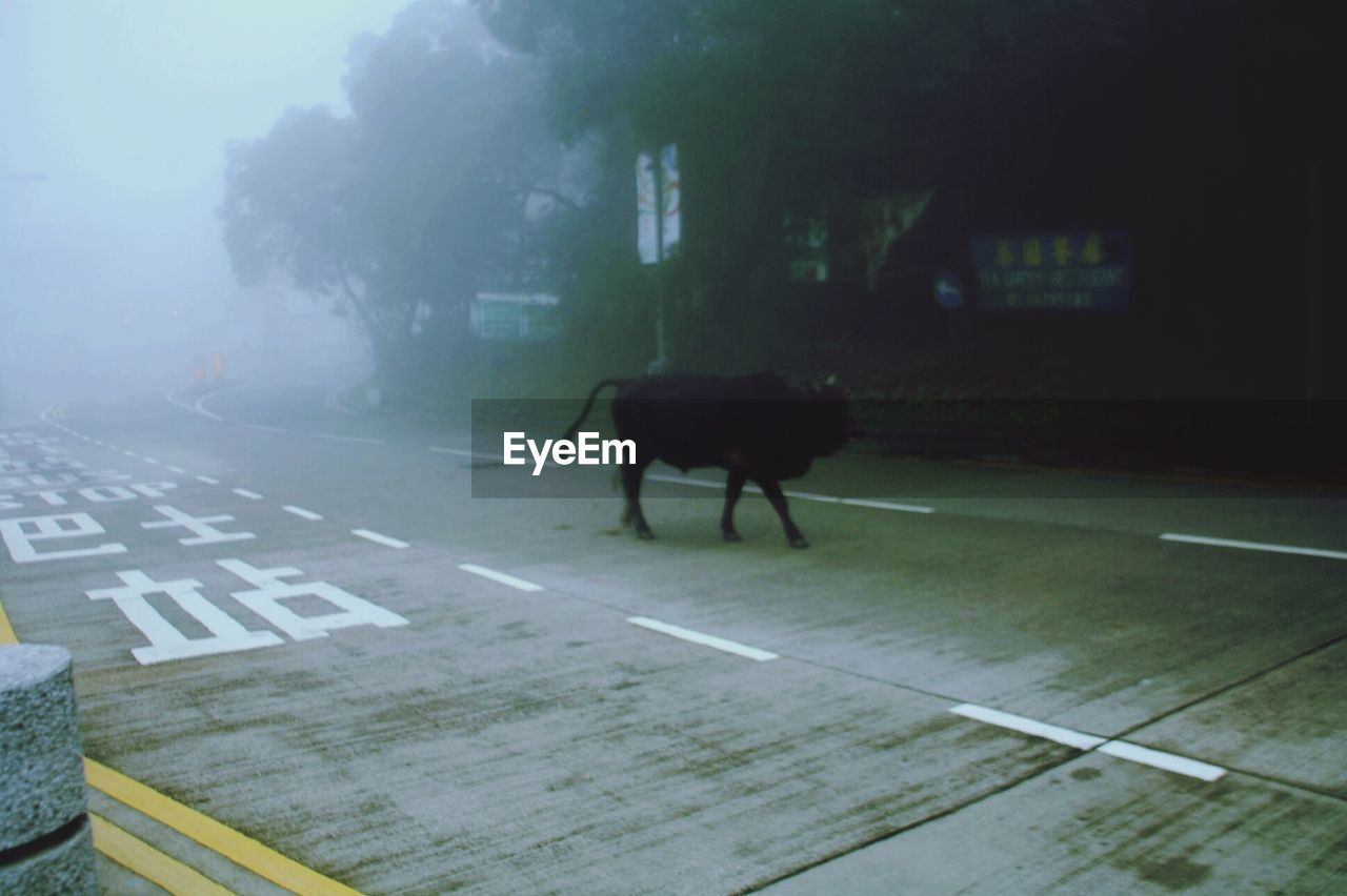 Black cow walking on street during foggy weather