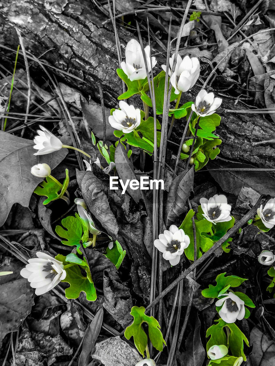 petal, flower, growth, plant, nature, fragility, freshness, no people, beauty in nature, day, outdoors, snowdrop, leaf, close-up, blooming, flower head