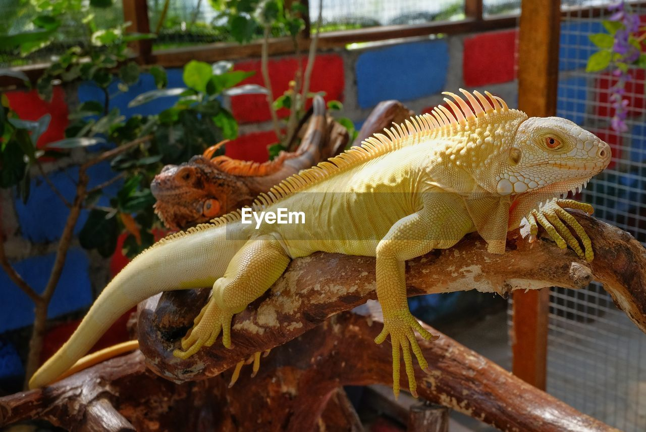animal, animal themes, reptile, lizard, one animal, animal wildlife, vertebrate, animals in the wild, focus on foreground, no people, nature, plant, day, close-up, outdoors, side view, branch, tree, looking, animal body part, iguana, animal scale