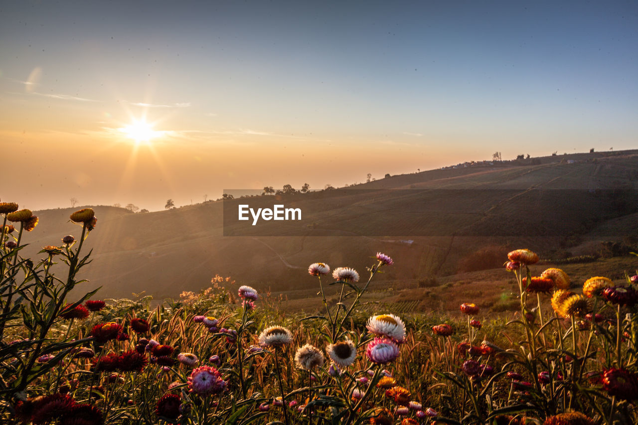 sky, beauty in nature, plant, flower, flowering plant, sun, sunset, land, sunlight, nature, field, tranquility, growth, lens flare, scenics - nature, landscape, environment, tranquil scene, fragility, freshness, no people, outdoors, bright, flower head