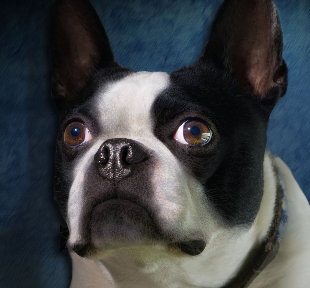 mammal, one animal, pets, domestic animals, domestic, dog, canine, vertebrate, looking at camera, portrait, close-up, boston terrier, indoors, animal body part, no people, high angle view, animal eye