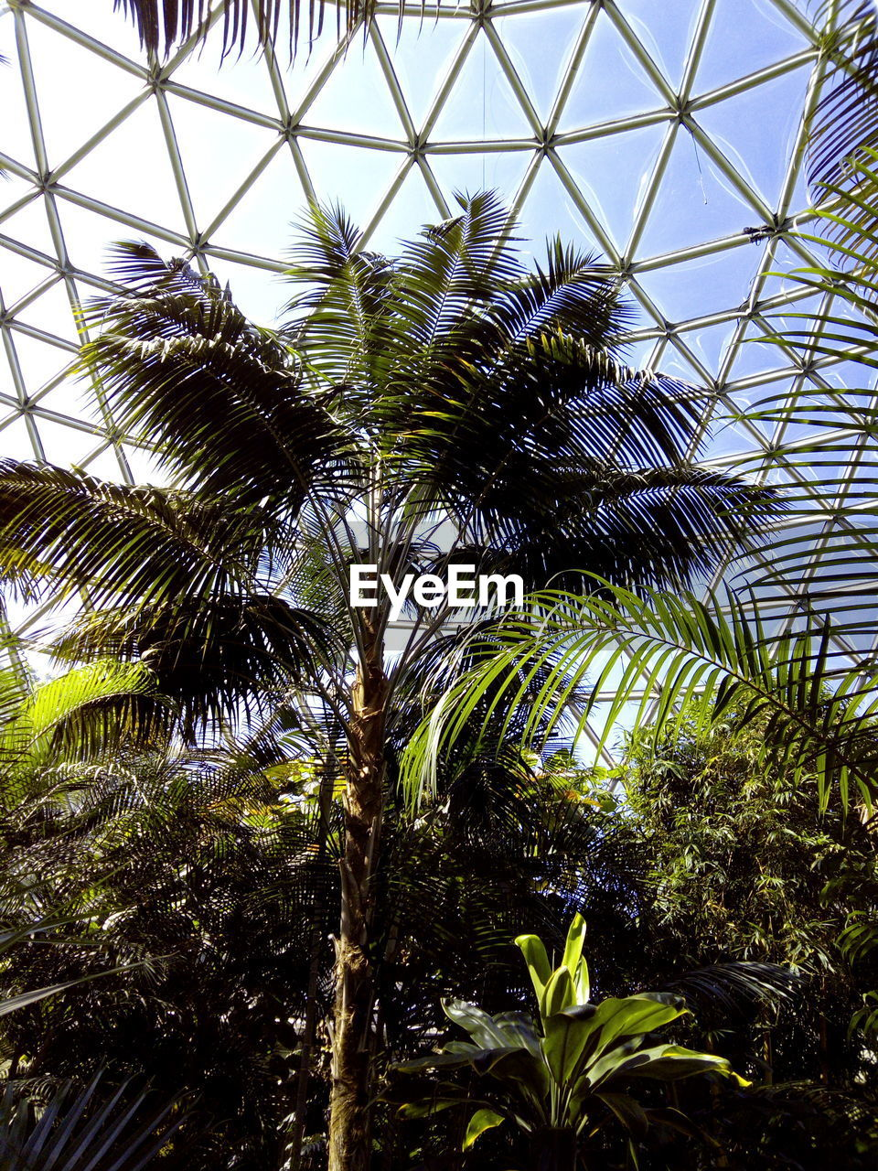 growth, palm tree, low angle view, plant, tree, day, nature, no people, green color, sky, beauty in nature, indoors, greenhouse, close-up