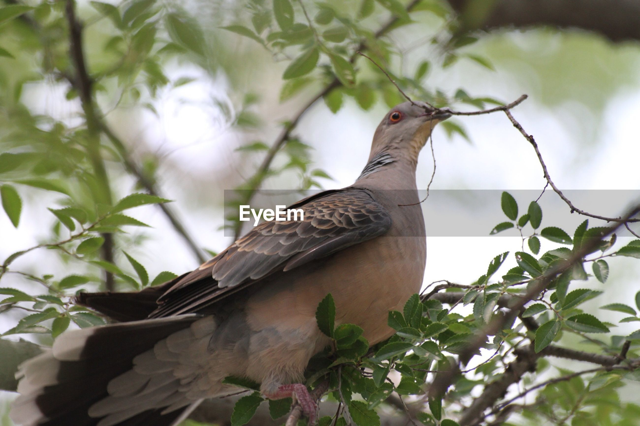 animal themes, animals in the wild, one animal, bird, wildlife, perching, branch, low angle view, tree, focus on foreground, leaf, nature, close-up, outdoors, day, no people, side view, sky, bird of prey, full length