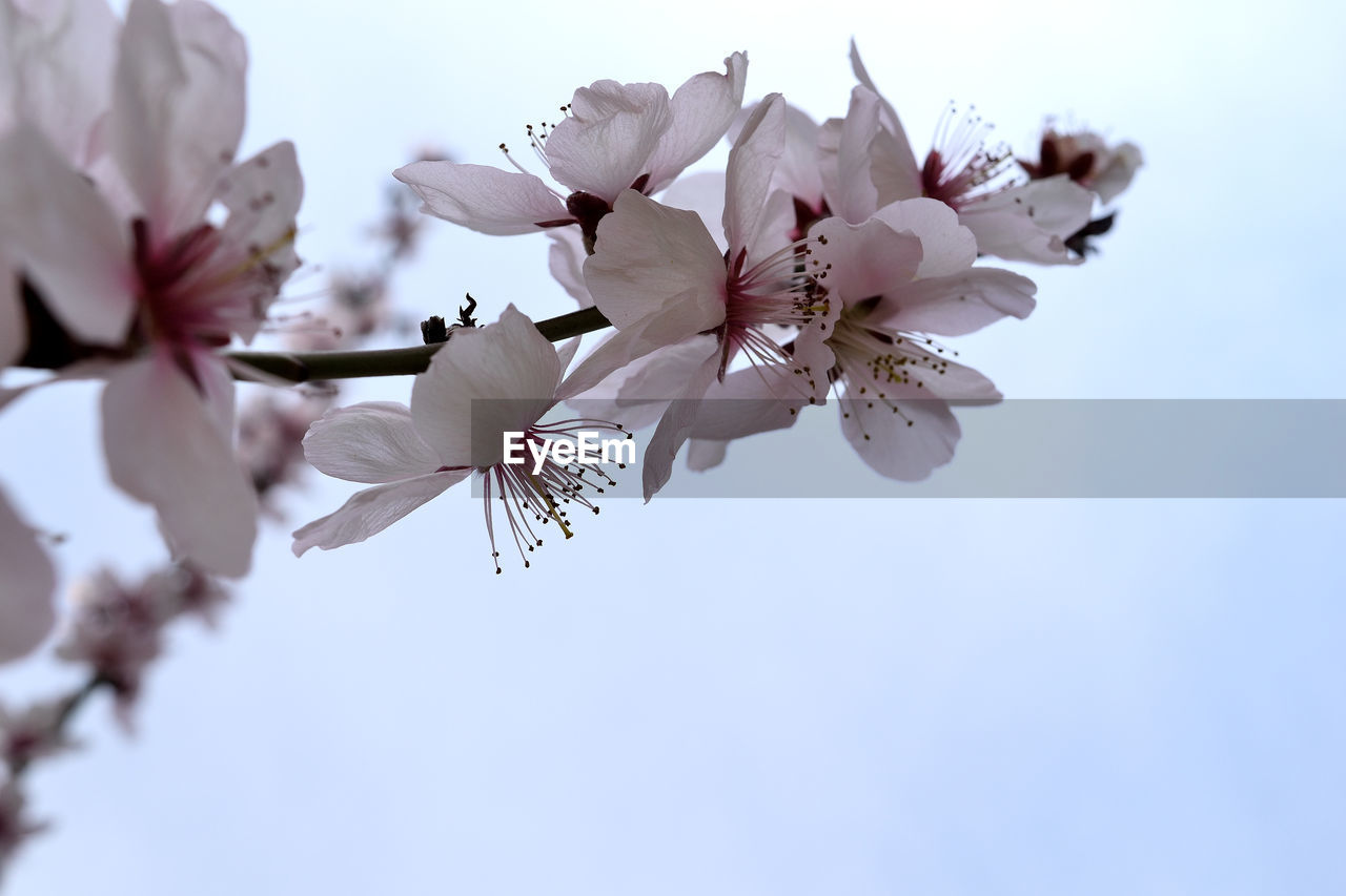 flowering plant, flower, freshness, fragility, vulnerability, plant, beauty in nature, growth, petal, blossom, close-up, low angle view, sky, springtime, branch, clear sky, white color, nature, pollen, tree, cherry blossom, flower head, no people, outdoors, cherry tree, plum blossom, spring