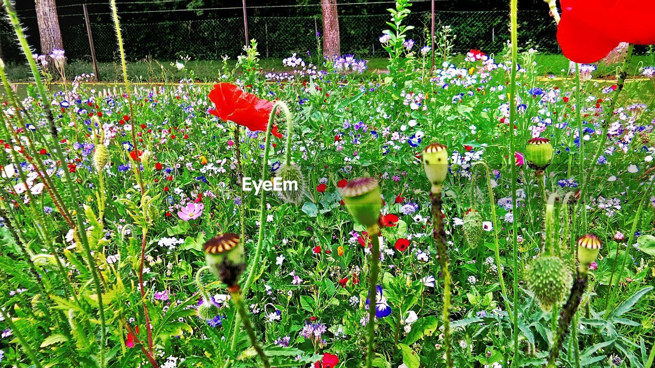 flower, growth, nature, plant, freshness, beauty in nature, red, no people, fragility, outdoors, poppy, day, grass, blooming, flower head
