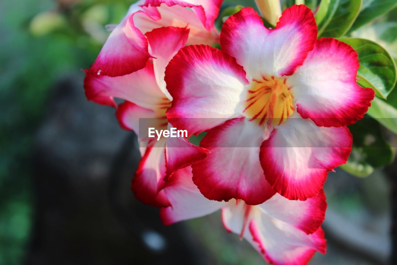 flower, flowering plant, fragility, vulnerability, petal, plant, freshness, inflorescence, flower head, beauty in nature, close-up, pink color, growth, focus on foreground, day, red, nature, no people, outdoors, selective focus, springtime