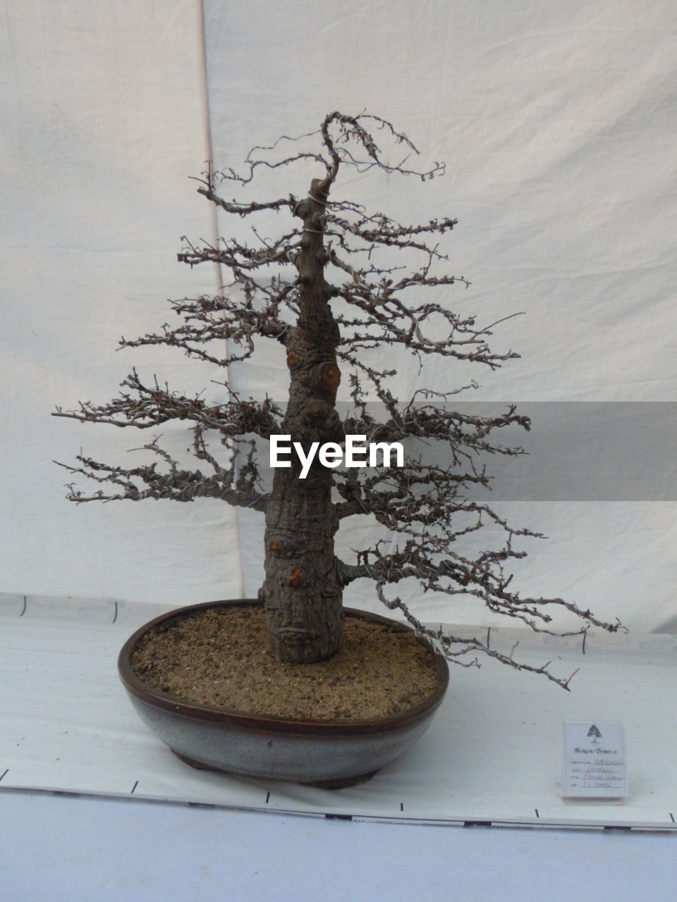 tree, plant, no people, growth, bonsai tree, nature, indoors, branch, beauty in nature, table, still life, potted plant, day, bare tree, tree trunk, wood - material, balance, botany, pot
