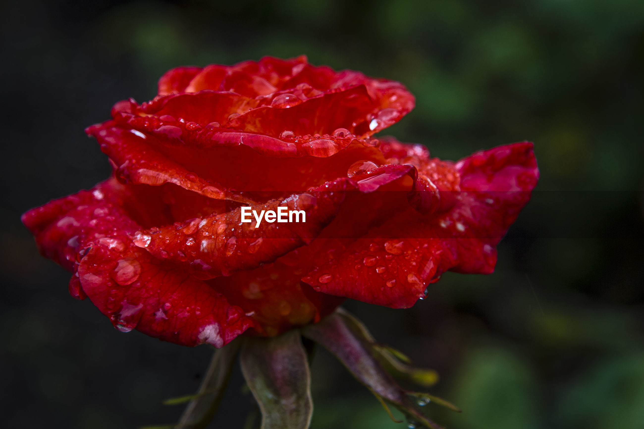 CLOSE-UP OF WET RED ROSE BLOOMING OUTDOORS DURING RAINY SEASON