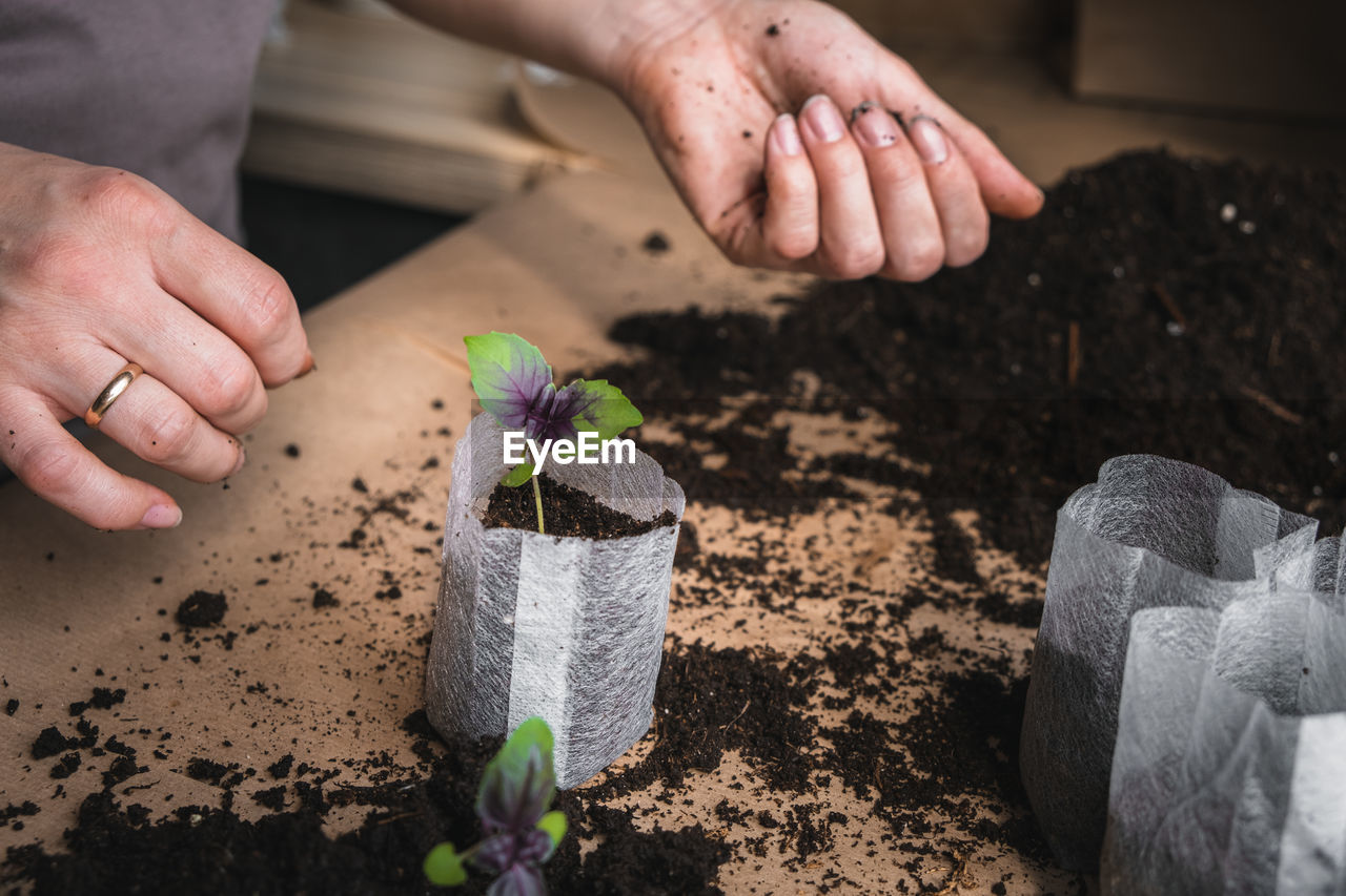 Home plant growing concept. human hands transplant seedlings into separate containers with soil