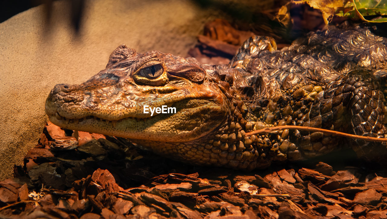 animal, animal themes, animal wildlife, one animal, animals in the wild, reptile, vertebrate, crocodile, close-up, no people, nature, day, animal body part, amphibian, focus on foreground, animal head, land, outdoors, leaf, plant part