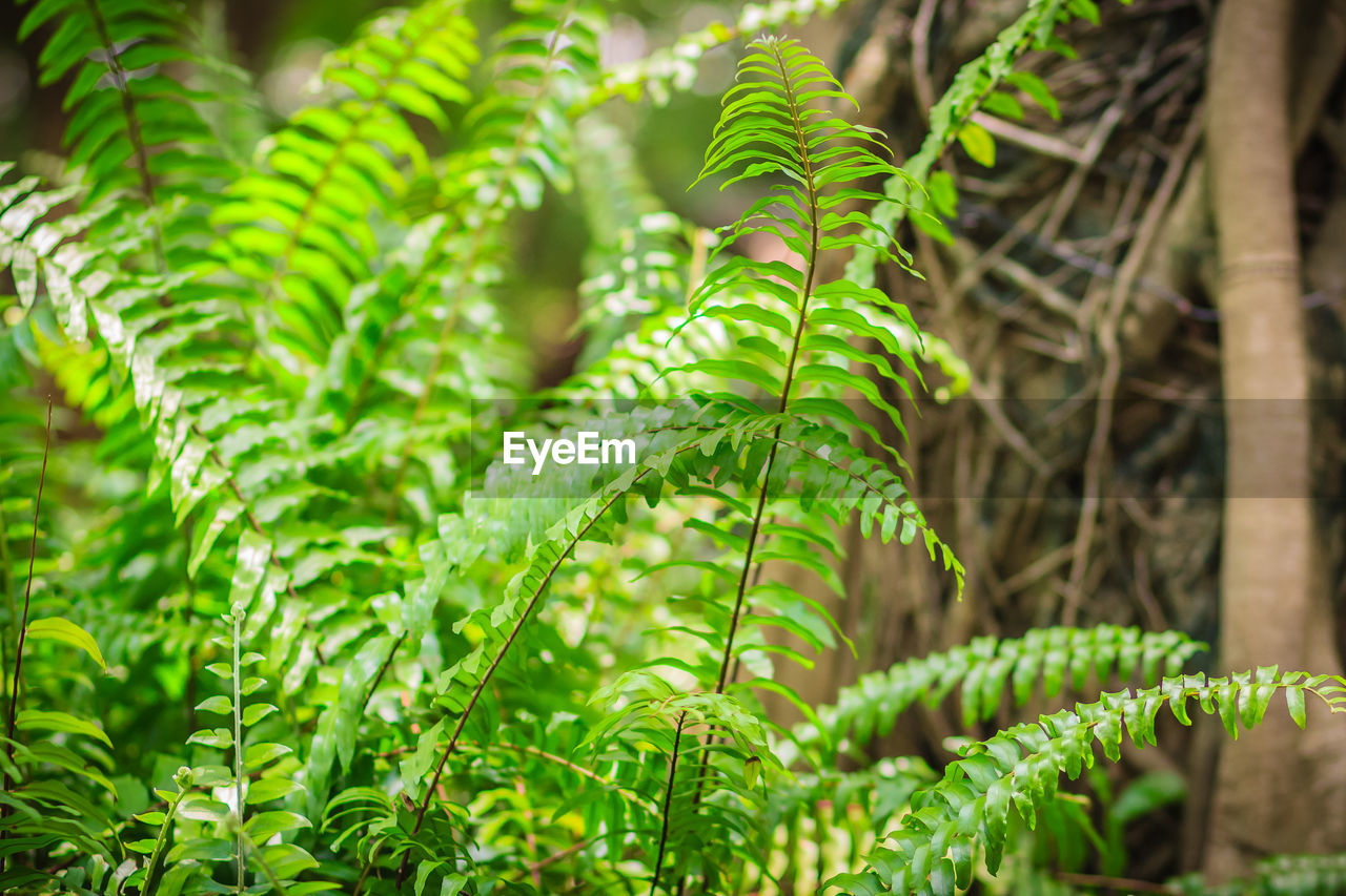 green color, plant, growth, leaf, plant part, beauty in nature, day, close-up, nature, no people, focus on foreground, fern, selective focus, outdoors, tree, tranquility, freshness, land, botany, sunlight, plantation