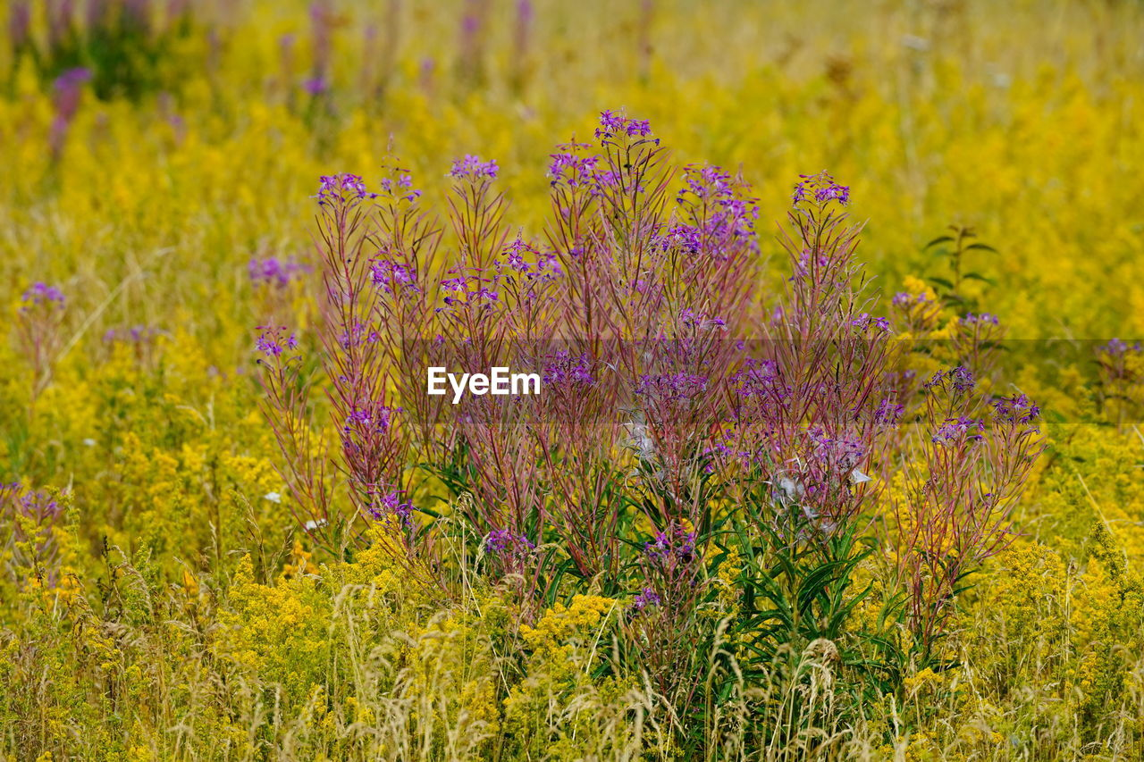 flower, flowering plant, growth, plant, beauty in nature, freshness, land, vulnerability, field, fragility, purple, nature, tranquility, no people, lavender, close-up, day, outdoors, focus on foreground, tranquil scene, springtime, flower head, flowerbed