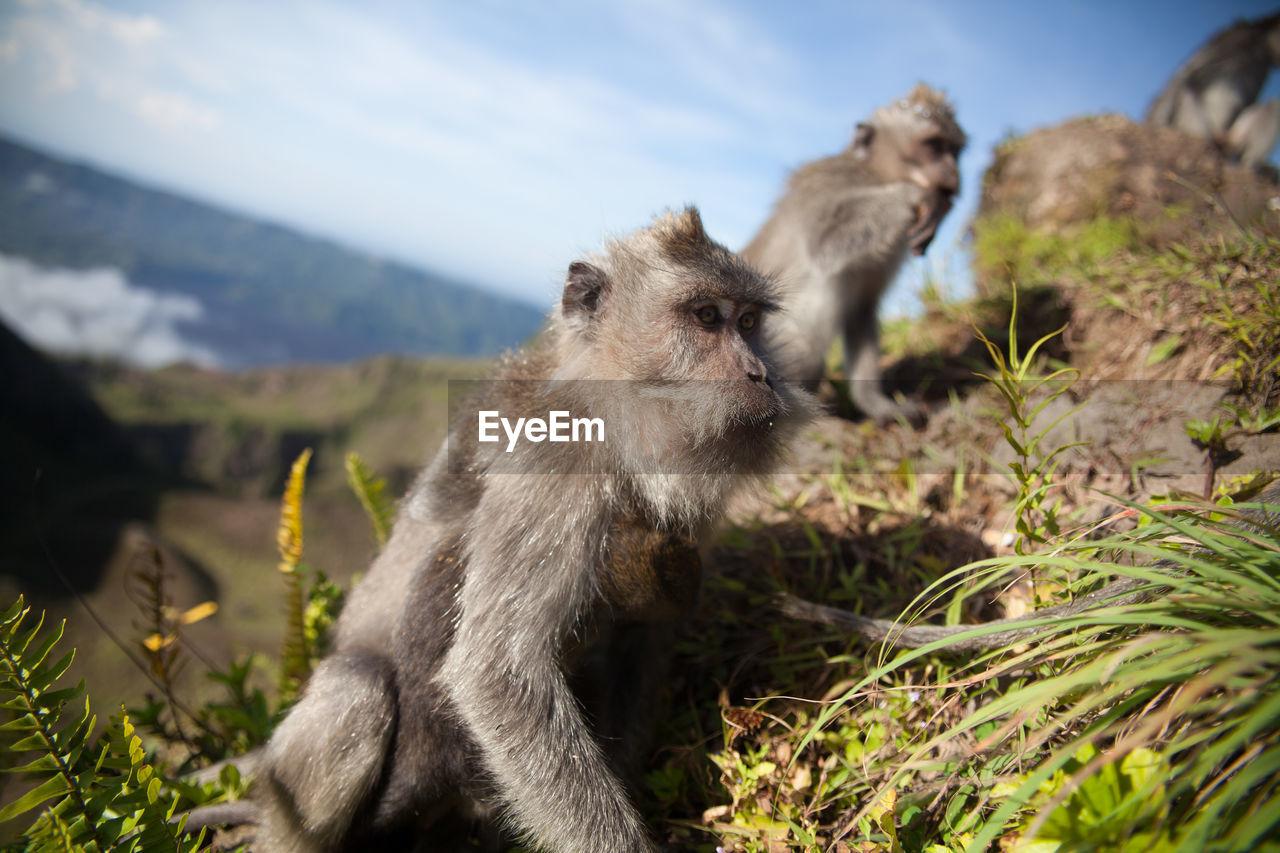 Monkeys in mountains