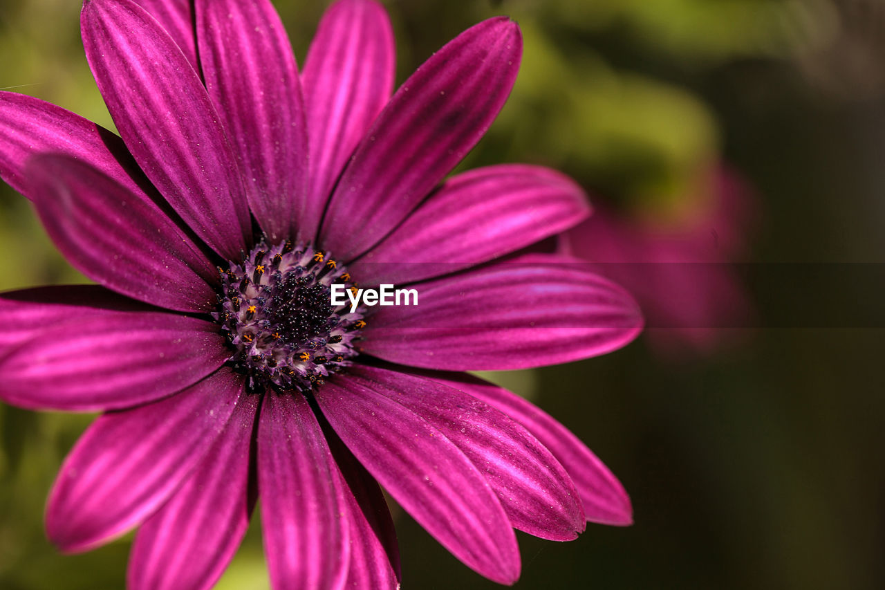flowering plant, flower, fragility, vulnerability, petal, freshness, plant, inflorescence, flower head, close-up, beauty in nature, growth, focus on foreground, pollen, no people, purple, day, nature, pink color, outdoors, osteospermum