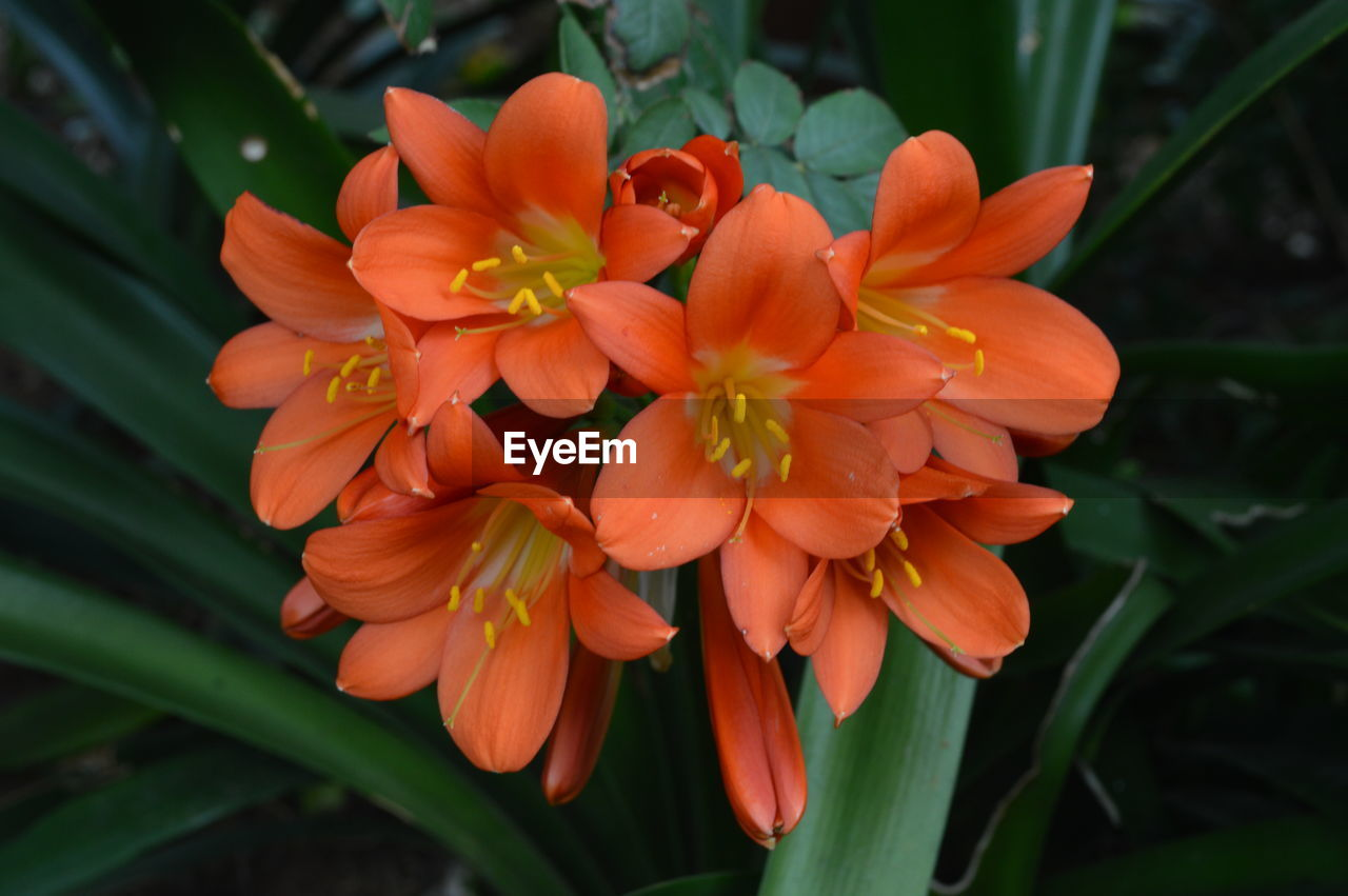 flower, petal, orange color, nature, beauty in nature, growth, plant, freshness, fragility, flower head, blooming, outdoors, no people, day, close-up, day lily