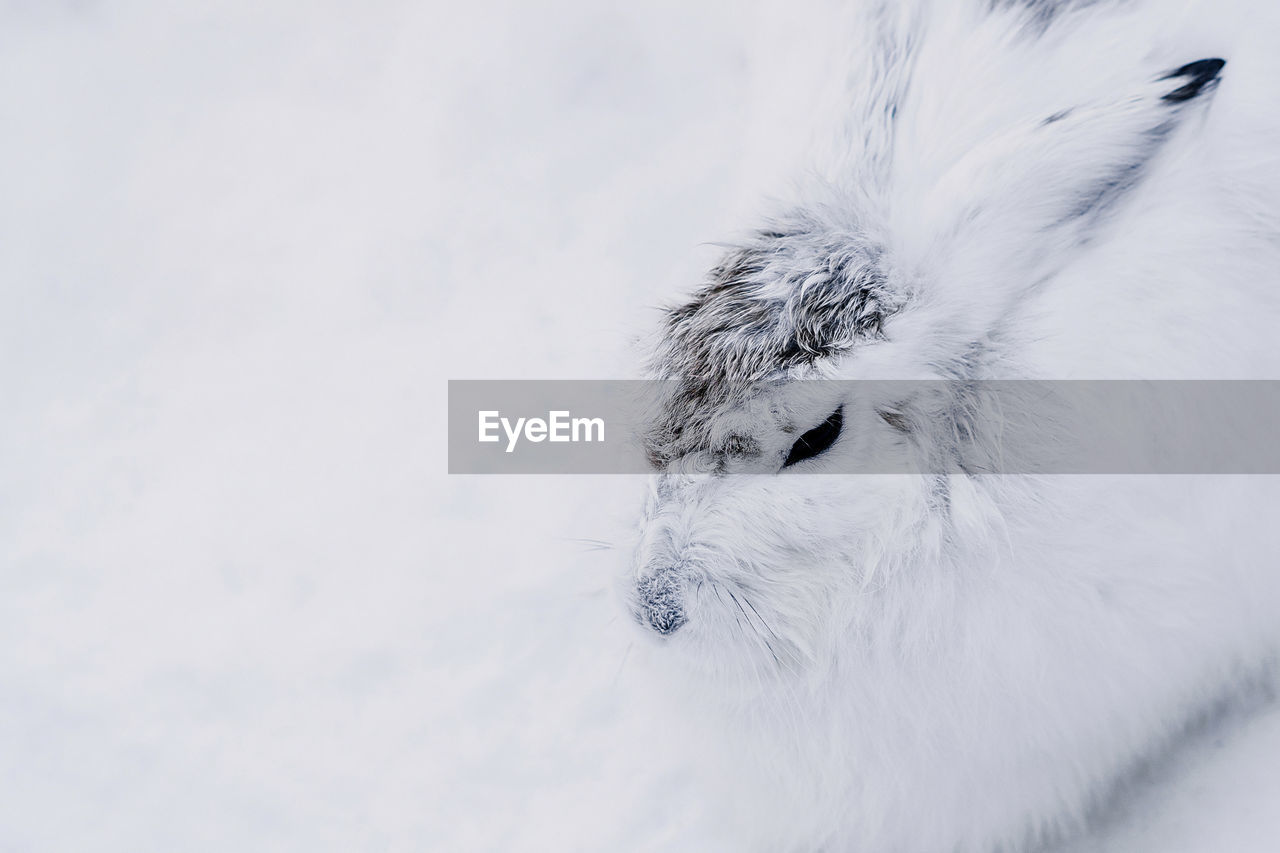 one animal, animal, mammal, animal themes, domestic, pets, domestic animals, vertebrate, snow, cold temperature, no people, dog, white color, canine, looking, looking away, winter, day, hair, animal head