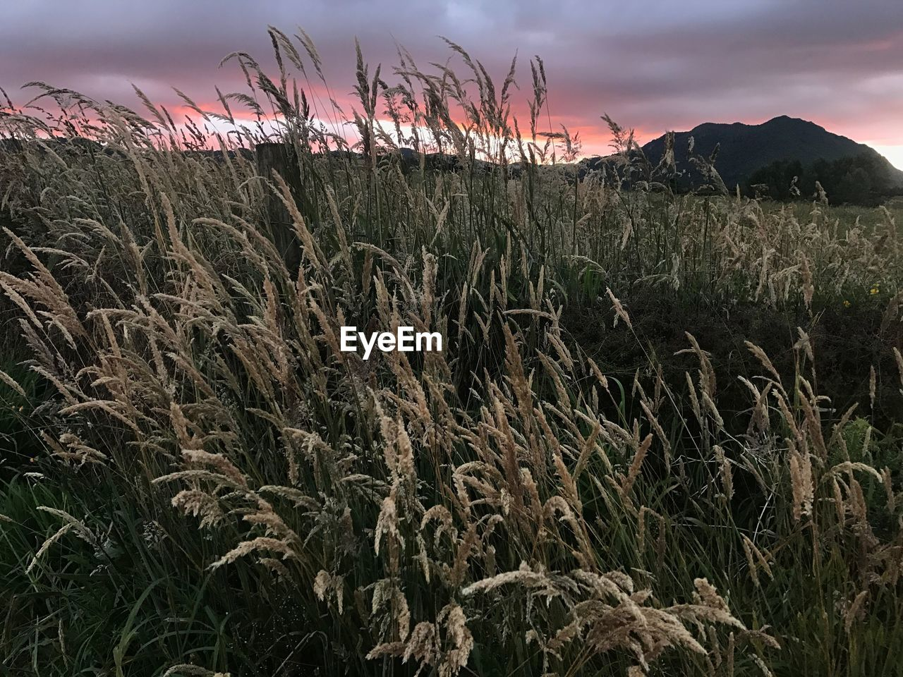 growth, sunset, nature, field, agriculture, no people, outdoors, tranquility, plant, tranquil scene, beauty in nature, sky, cereal plant, landscape, scenics, day, rural scene, wheat, grass, close-up, freshness