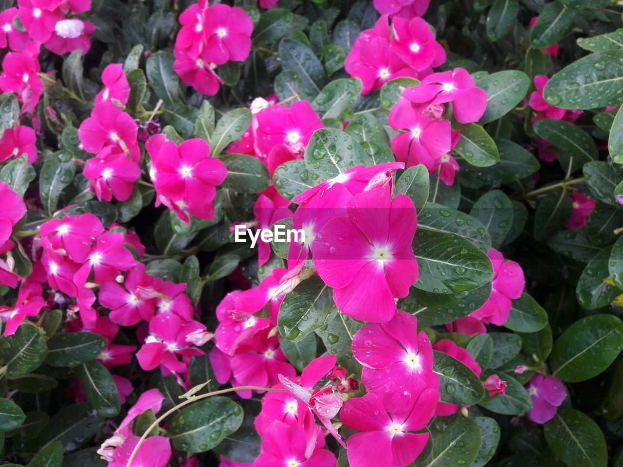 flower, growth, petal, fragility, beauty in nature, freshness, flower head, plant, nature, blooming, day, high angle view, outdoors, leaf, pink color, no people, green color, periwinkle, petunia, close-up