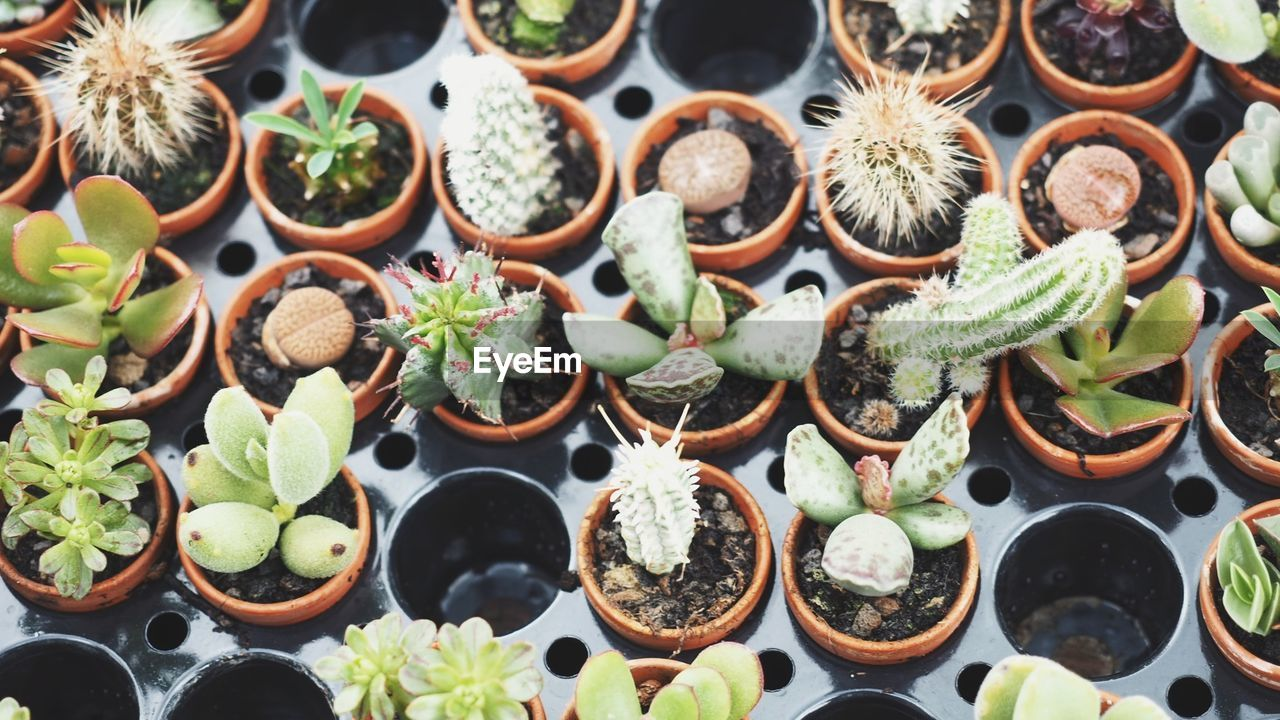 High Angle View Of Succulent Plants In Plug Tray