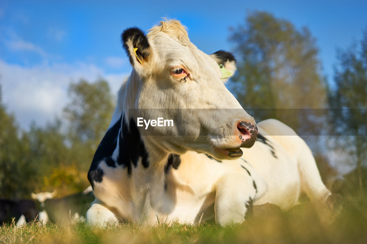 animal, animal themes, mammal, domestic animals, domestic, livestock, pets, plant, vertebrate, one animal, field, cow, sky, cattle, land, nature, day, tree, no people, domestic cattle, herbivorous, animal head