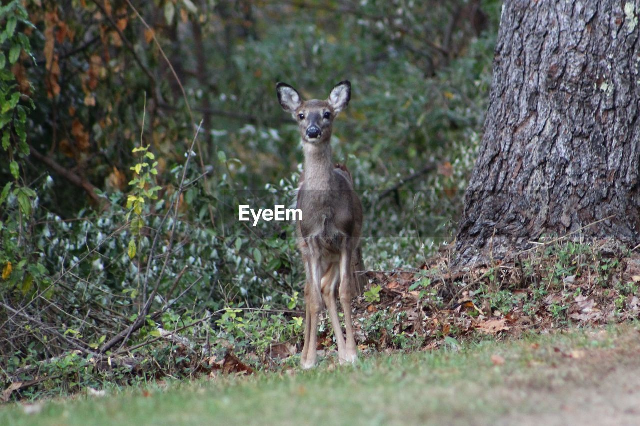 one animal, animals in the wild, animal wildlife, mammal, tree, plant, portrait, looking at camera, standing, nature, land, day, vertebrate, full length, forest, no people, selective focus, outdoors
