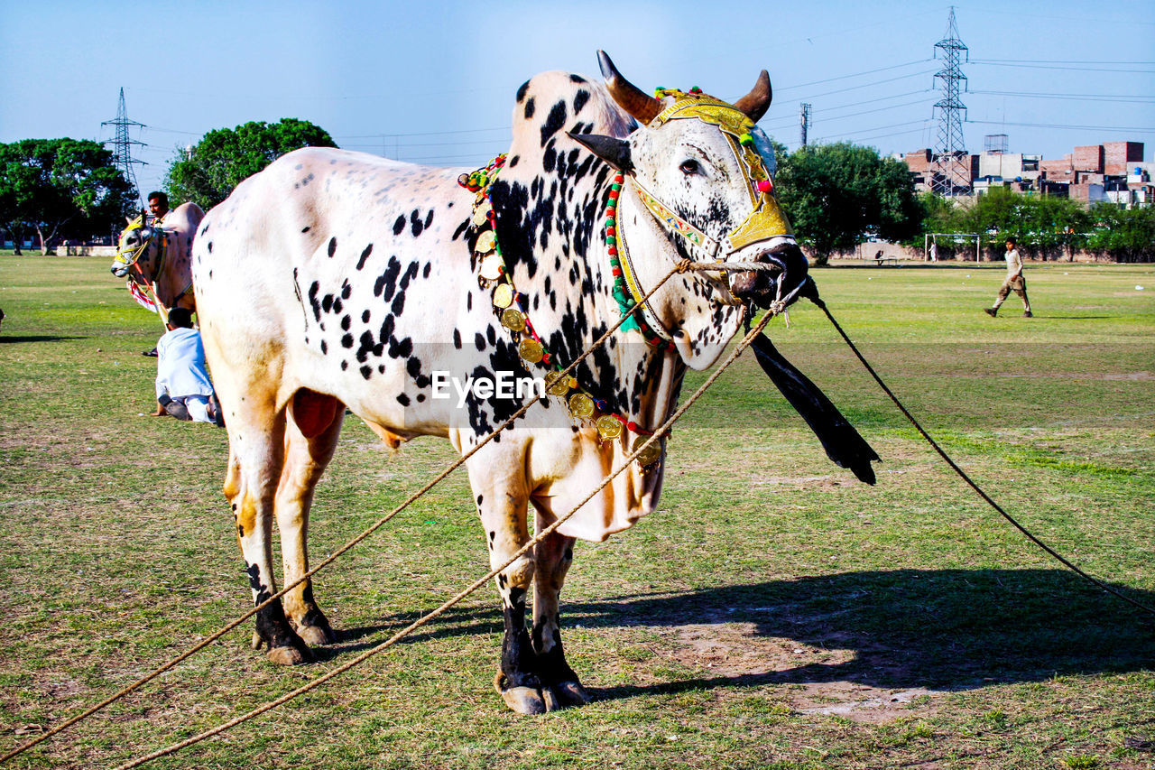 field, mammal, grass, plant, domestic, nature, animal themes, domestic animals, land, animal, pets, vertebrate, day, standing, livestock, cattle, sunlight, cow, group of animals, architecture, outdoors, herbivorous