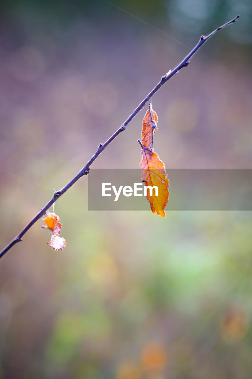 focus on foreground, beauty in nature, plant, close-up, fragility, flowering plant, growth, vulnerability, flower, no people, orange color, freshness, day, nature, plant part, twig, outdoors, leaf, plant stem, petal, flower head, change