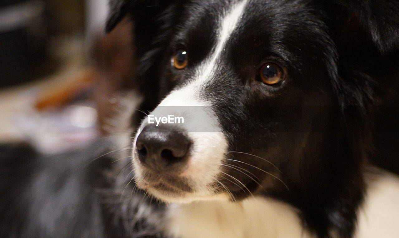Close-up of border collie looking away