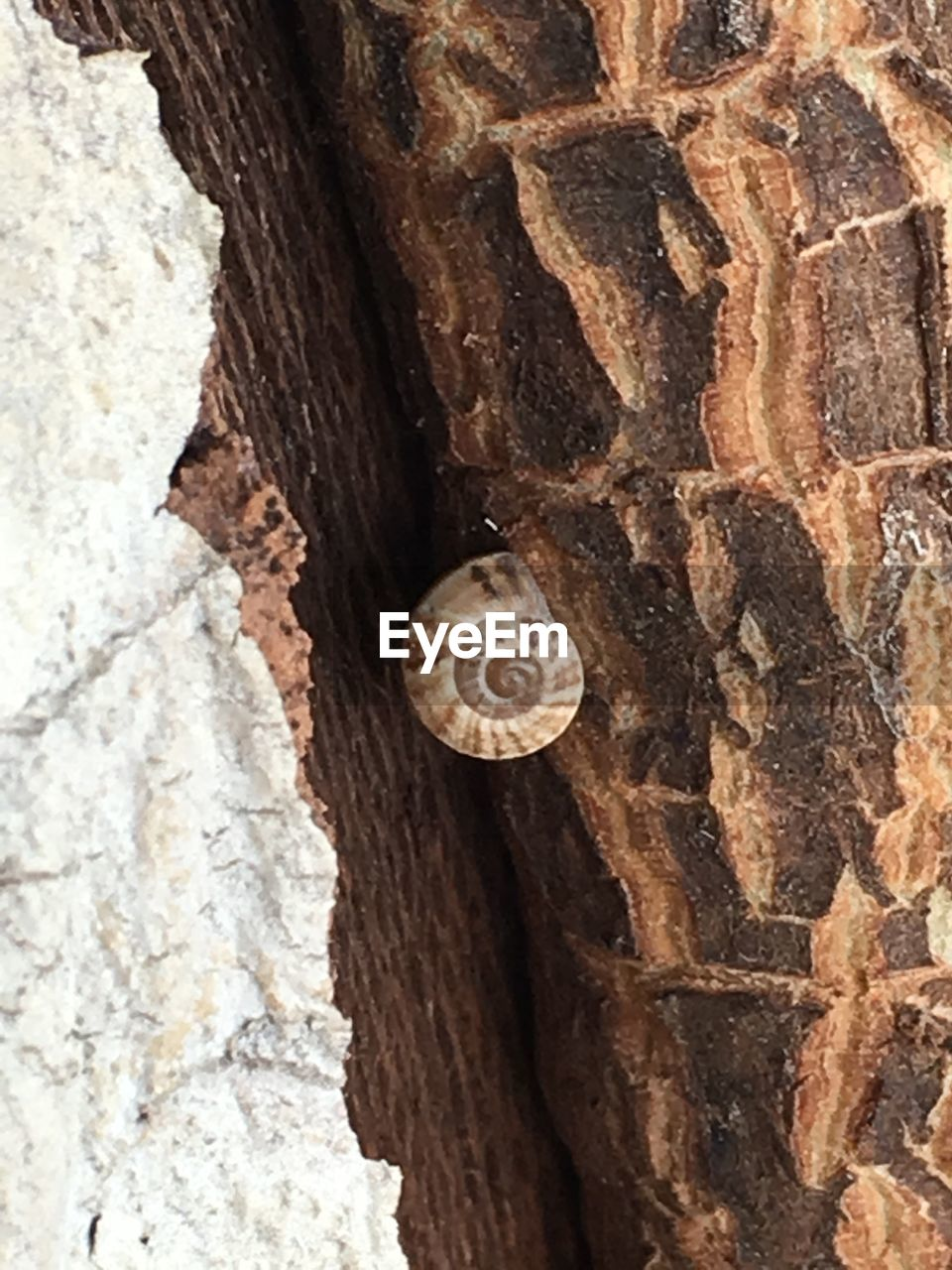 animal wildlife, animal, animal themes, mollusk, shell, animals in the wild, invertebrate, one animal, gastropod, close-up, animal shell, tree trunk, trunk, no people, snail, textured, nature, natural pattern, pattern, spiral, outdoors