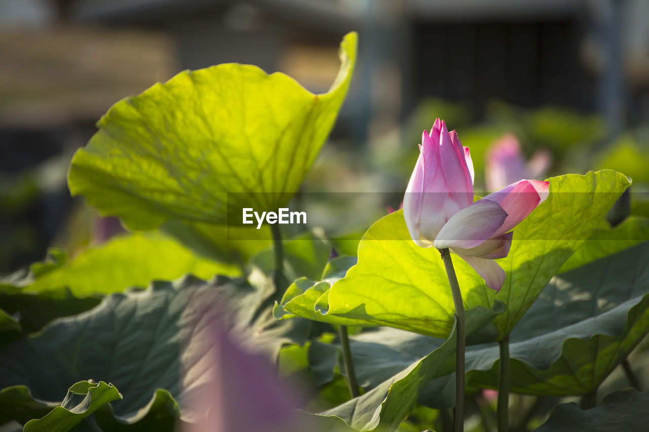 flowering plant, beauty in nature, flower, plant, petal, vulnerability, fragility, freshness, leaf, plant part, flower head, close-up, inflorescence, growth, nature, green color, pink color, day, yellow, selective focus, no people, outdoors, lotus water lily, springtime