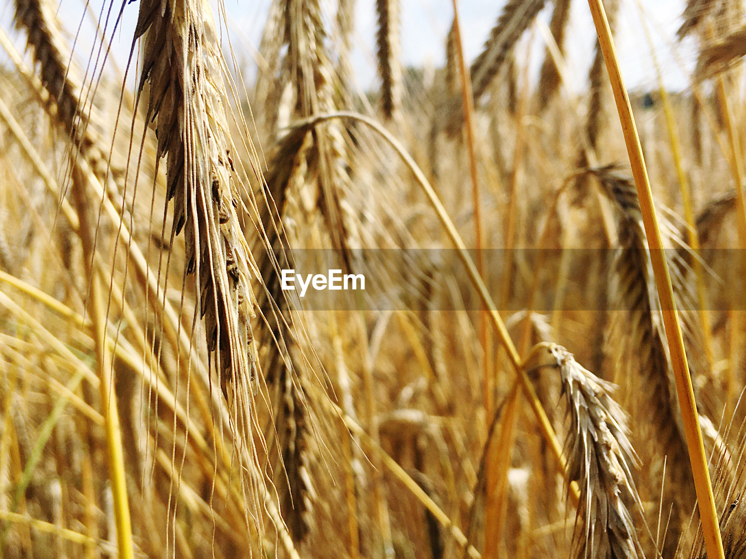 Close-up of grain growing on field