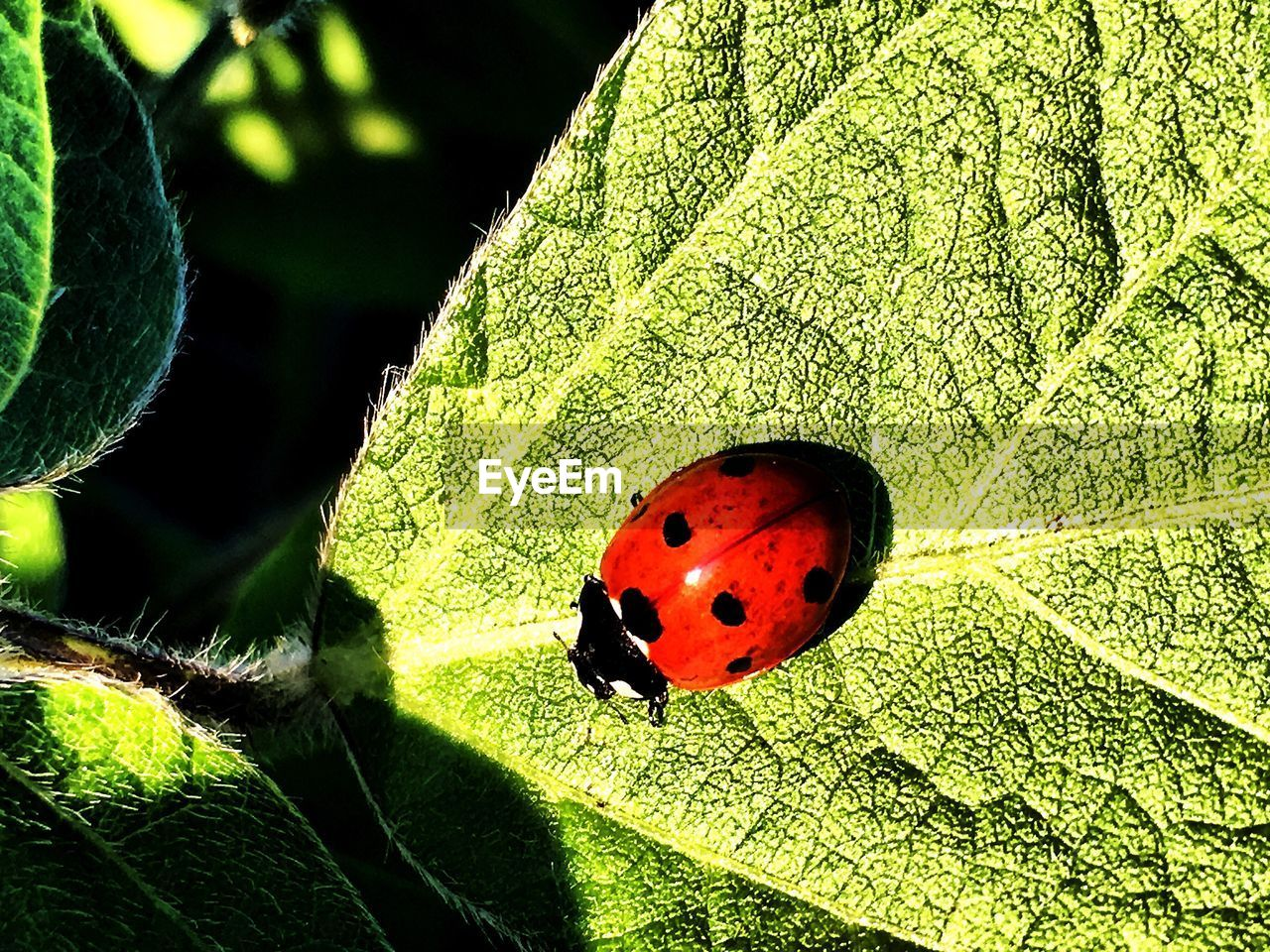 insect, animal themes, animals in the wild, one animal, leaf, wildlife, red, close-up, sunlight, no people, outdoors, day, ladybug, green color, nature, fragility, animal markings, plant, beauty in nature