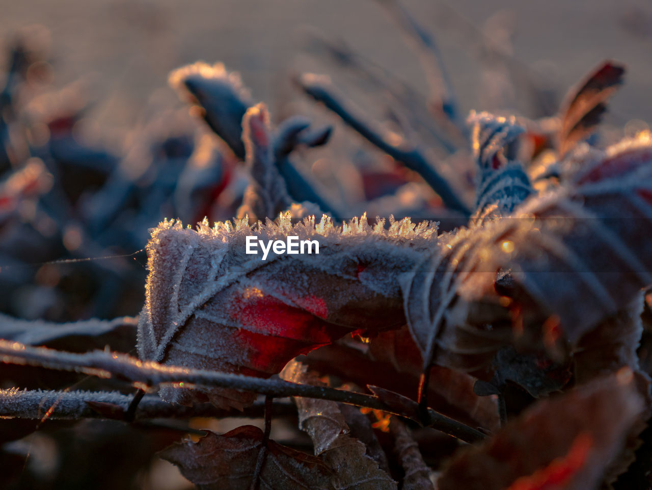 close-up, leaf, selective focus, plant part, nature, no people, day, winter, outdoors, cold temperature, autumn, leaves, dry, focus on foreground, land, plant, tree, snow, orange color, change
