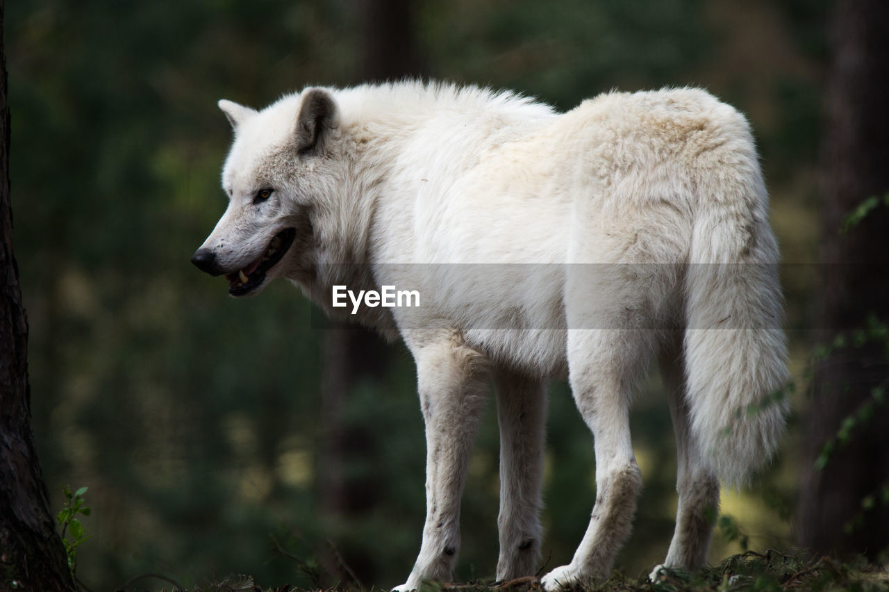 Wolf Standing On Field