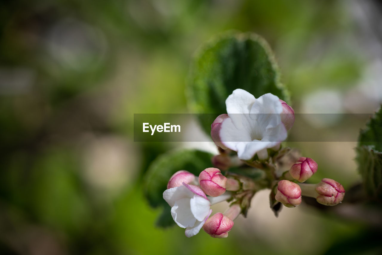 flowering plant, flower, beauty in nature, plant, freshness, fragility, vulnerability, petal, growth, close-up, pink color, inflorescence, nature, flower head, focus on foreground, bud, no people, day, selective focus, white color, outdoors, springtime