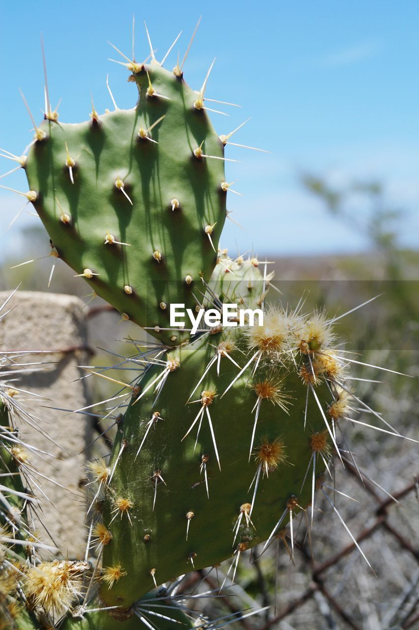 cactus, nature, thorn, growth, green color, plant, focus on foreground, spiked, outdoors, day, close-up, no people, spider web, beauty in nature, prickly pear cactus, risk, animal themes, freshness, sky