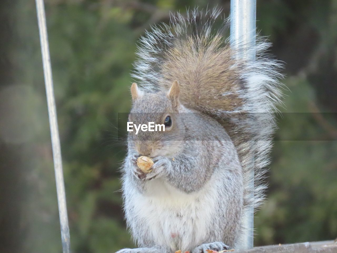 animal, animal themes, animal wildlife, rodent, one animal, mammal, squirrel, animals in the wild, focus on foreground, vertebrate, close-up, no people, day, eating, nature, food, outdoors, holding, food and drink, nut, whisker