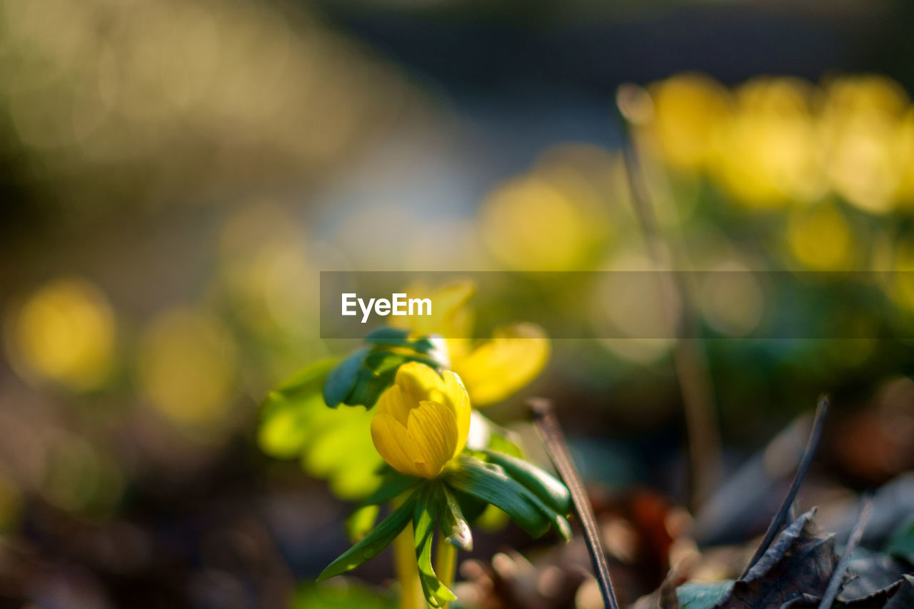 flower, beauty in nature, nature, fragility, freshness, growth, selective focus, plant, yellow, focus on foreground, outdoors, close-up, petal, day, no people, green color, springtime, flower head, snowdrop