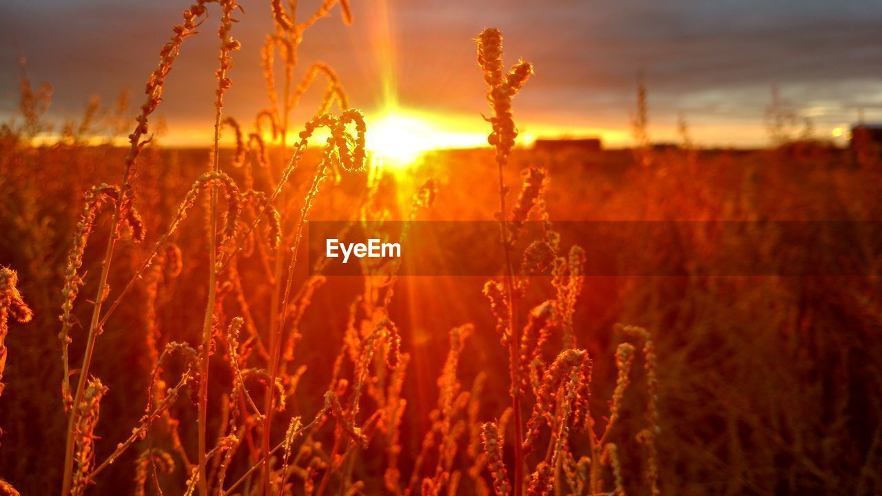 sunset, growth, plant, field, beauty in nature, nature, sky, orange color, land, tranquility, sunlight, no people, agriculture, close-up, crop, focus on foreground, outdoors, tranquil scene, scenics - nature, sun, lens flare, stalk