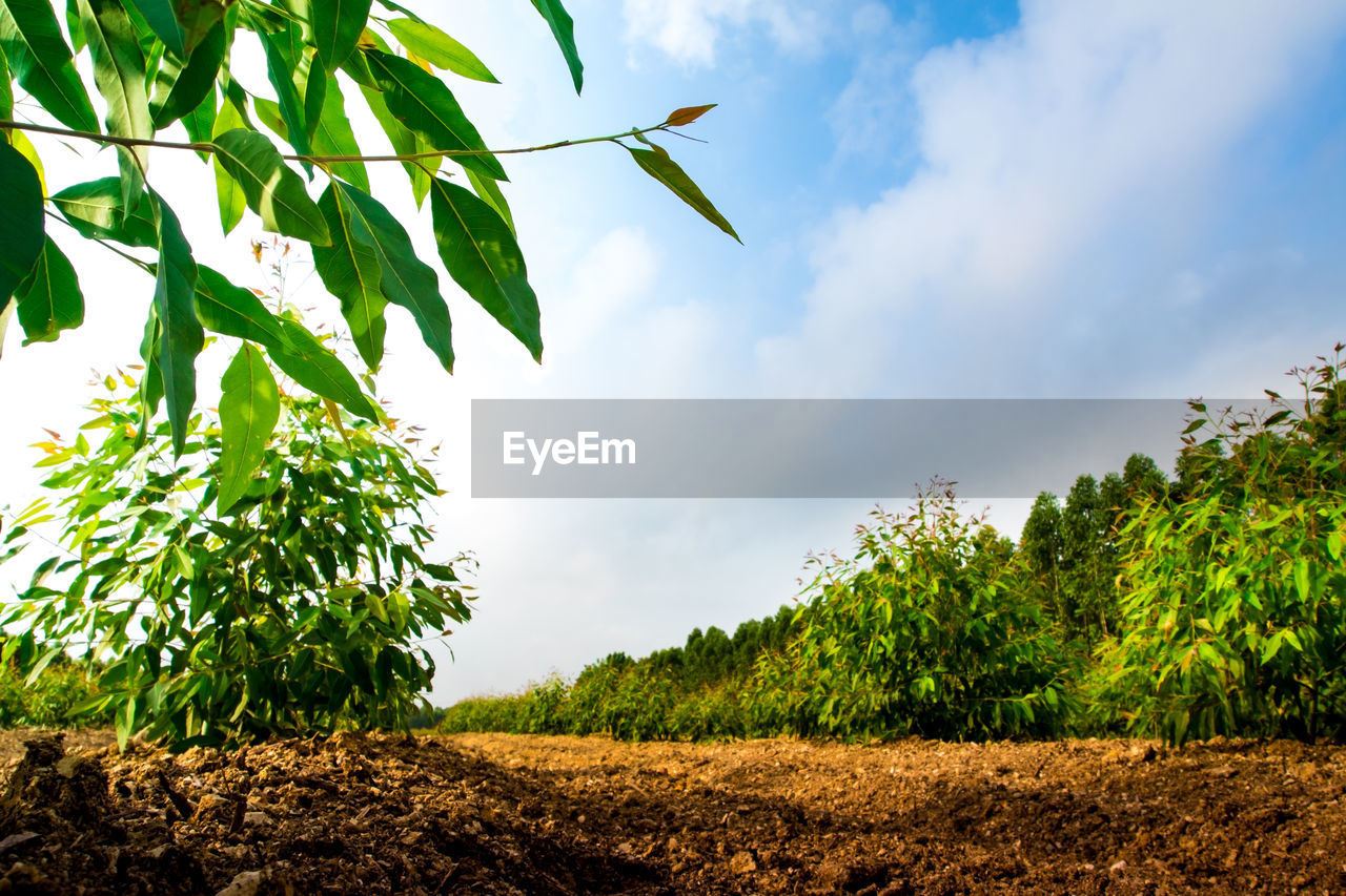 plant, growth, sky, tree, green color, leaf, field, nature, plant part, land, beauty in nature, landscape, tranquility, cloud - sky, no people, tranquil scene, day, rural scene, agriculture, environment, outdoors, plantation