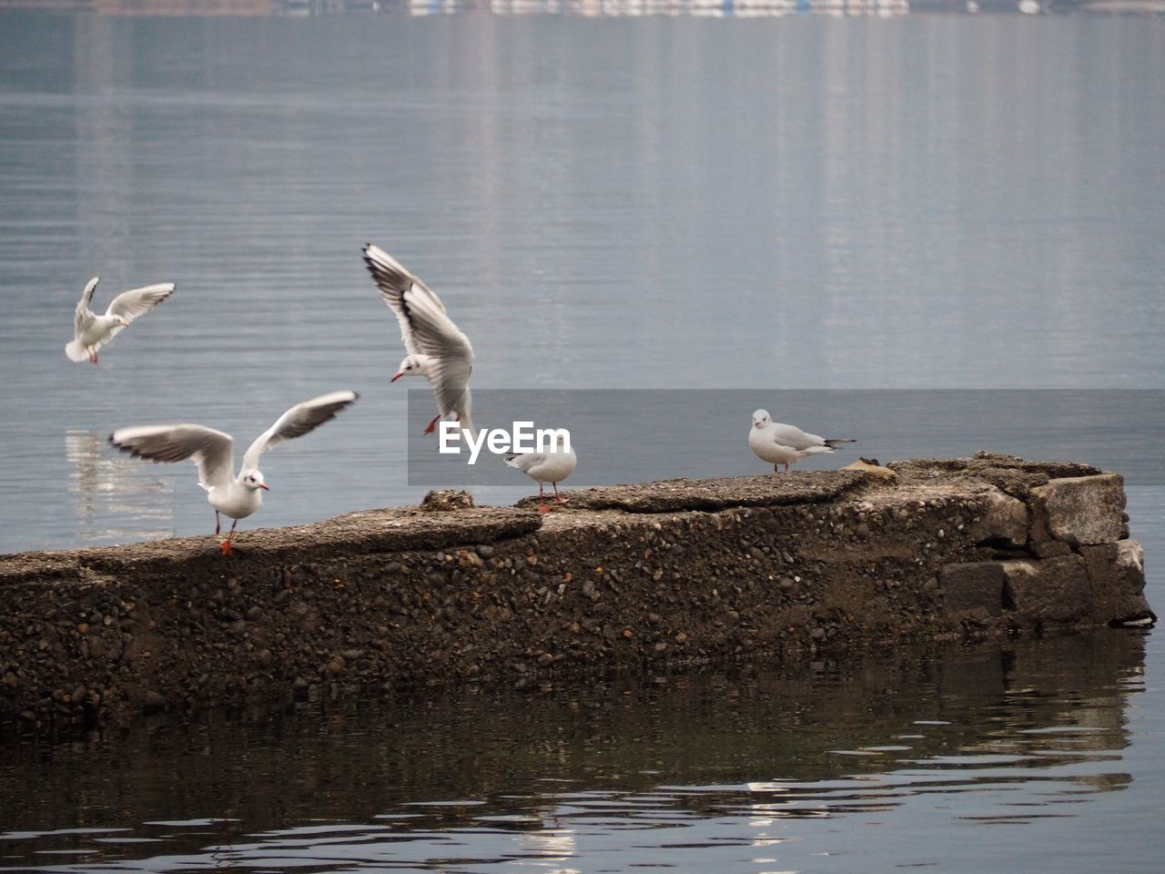 SEAGULLS FLYING OVER LAKE AGAINST BLURRED BACKGROUND