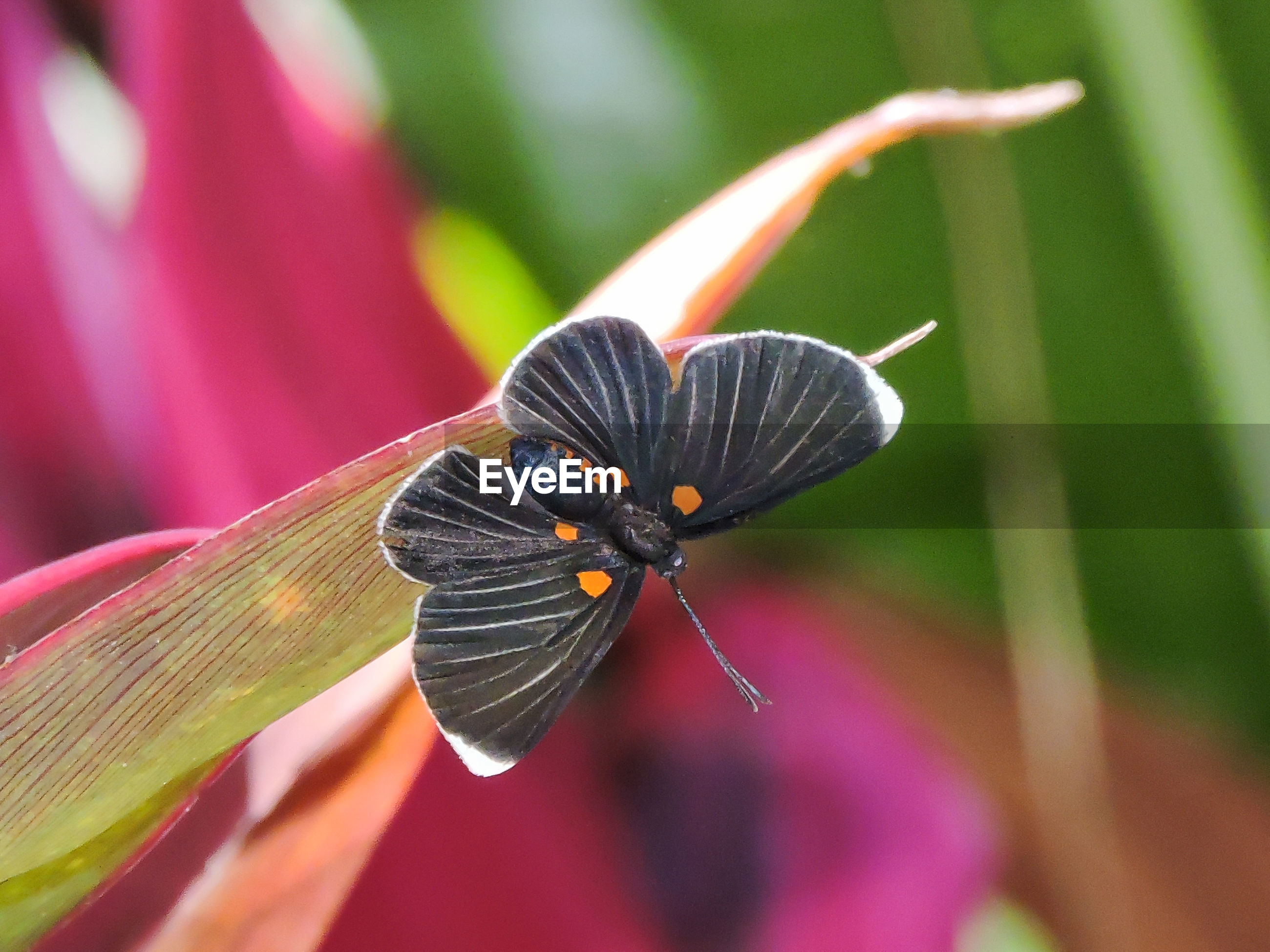Close-up of black butterfly on leaf