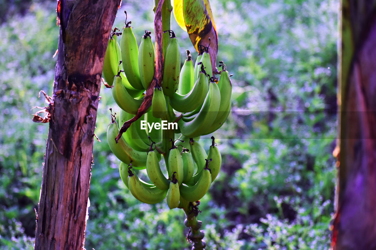 growth, tree, no people, banana, banana tree, focus on foreground, nature, green color, day, hanging, outdoors, beauty in nature, fruit, close-up, freshness