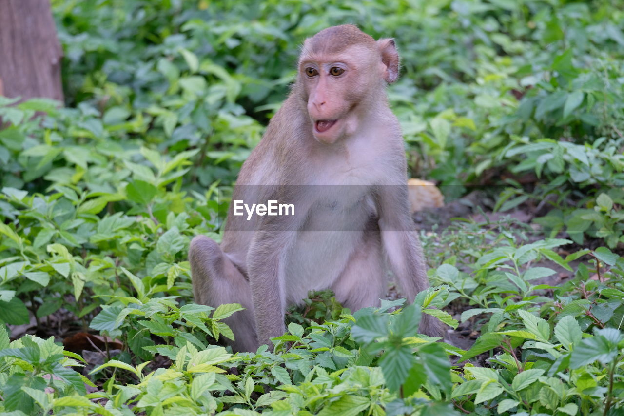 animals in the wild, primate, animal wildlife, monkey, animal, animal themes, mammal, one animal, plant, vertebrate, day, nature, growth, no people, green color, sitting, plant part, looking away, looking, leaf, outdoors, mouth open, baboon