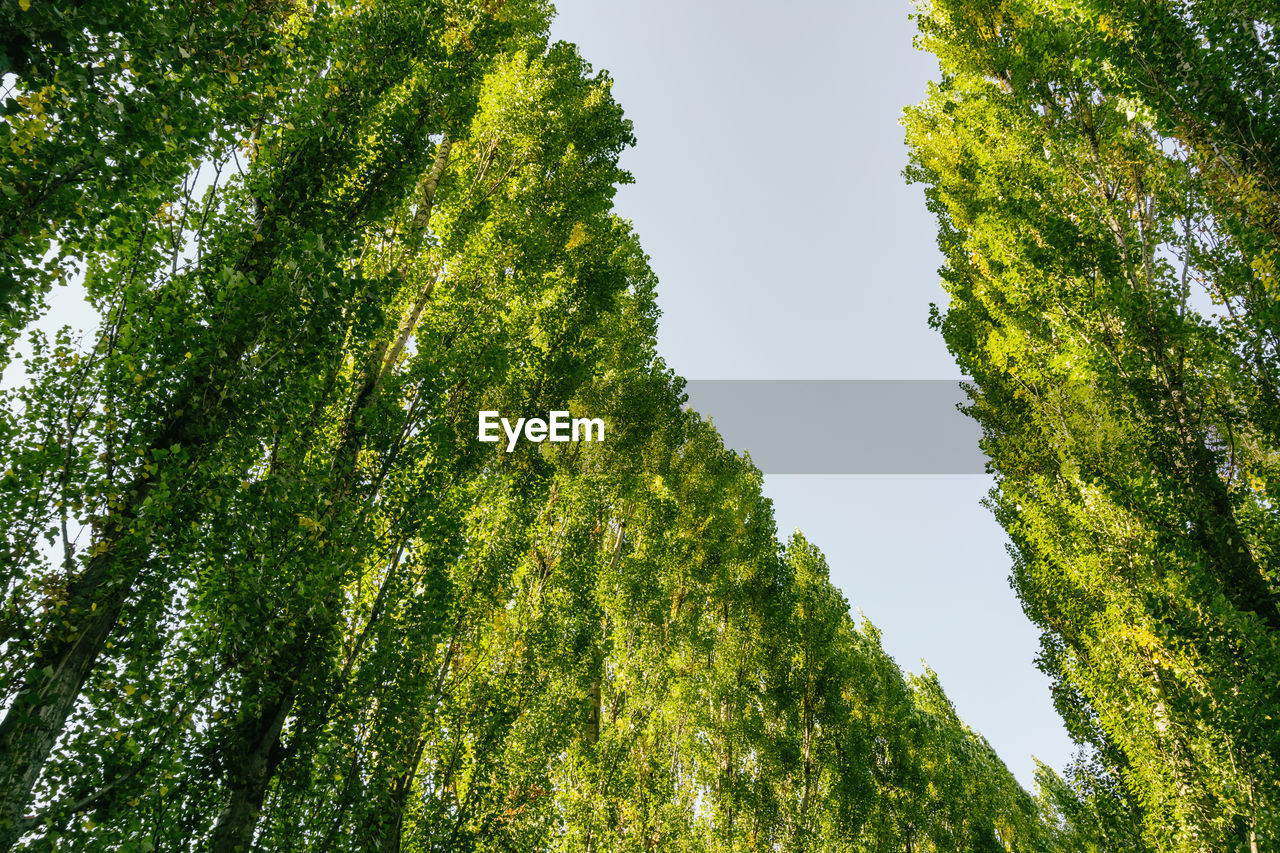 tree, plant, green color, growth, sky, low angle view, beauty in nature, no people, tranquility, day, nature, outdoors, clear sky, land, scenics - nature, tranquil scene, non-urban scene, branch, idyllic, foliage, directly below, tree canopy