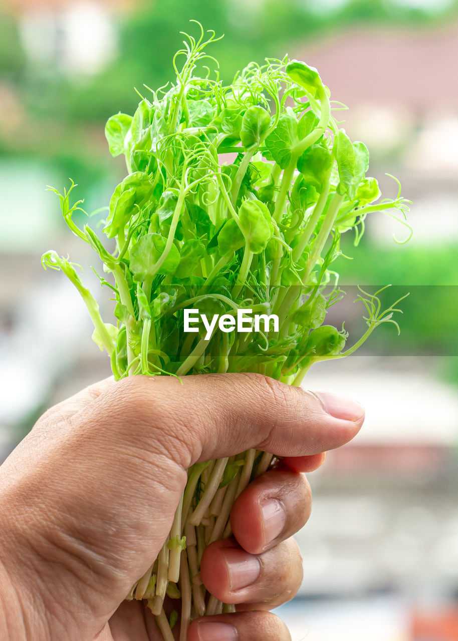 human hand, hand, one person, real people, holding, focus on foreground, vegetable, human body part, green color, food and drink, close-up, lifestyles, food, healthy eating, freshness, day, unrecognizable person, leisure activity, nature, body part, finger, herb