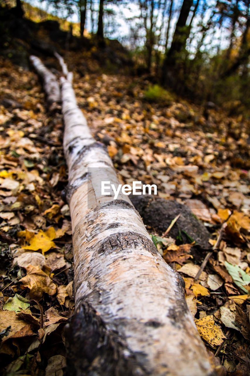 autumn, tree trunk, nature, forest, leaf, tree, fallen, change, outdoors, tranquility, day, no people, beauty in nature, scenics, close-up, branch
