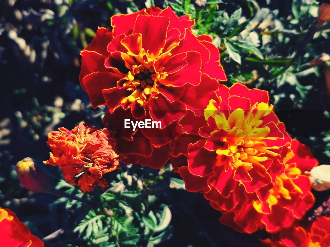 flowering plant, flower, petal, plant, fragility, flower head, freshness, growth, inflorescence, vulnerability, beauty in nature, red, close-up, focus on foreground, day, nature, no people, pollen, outdoors, orange color