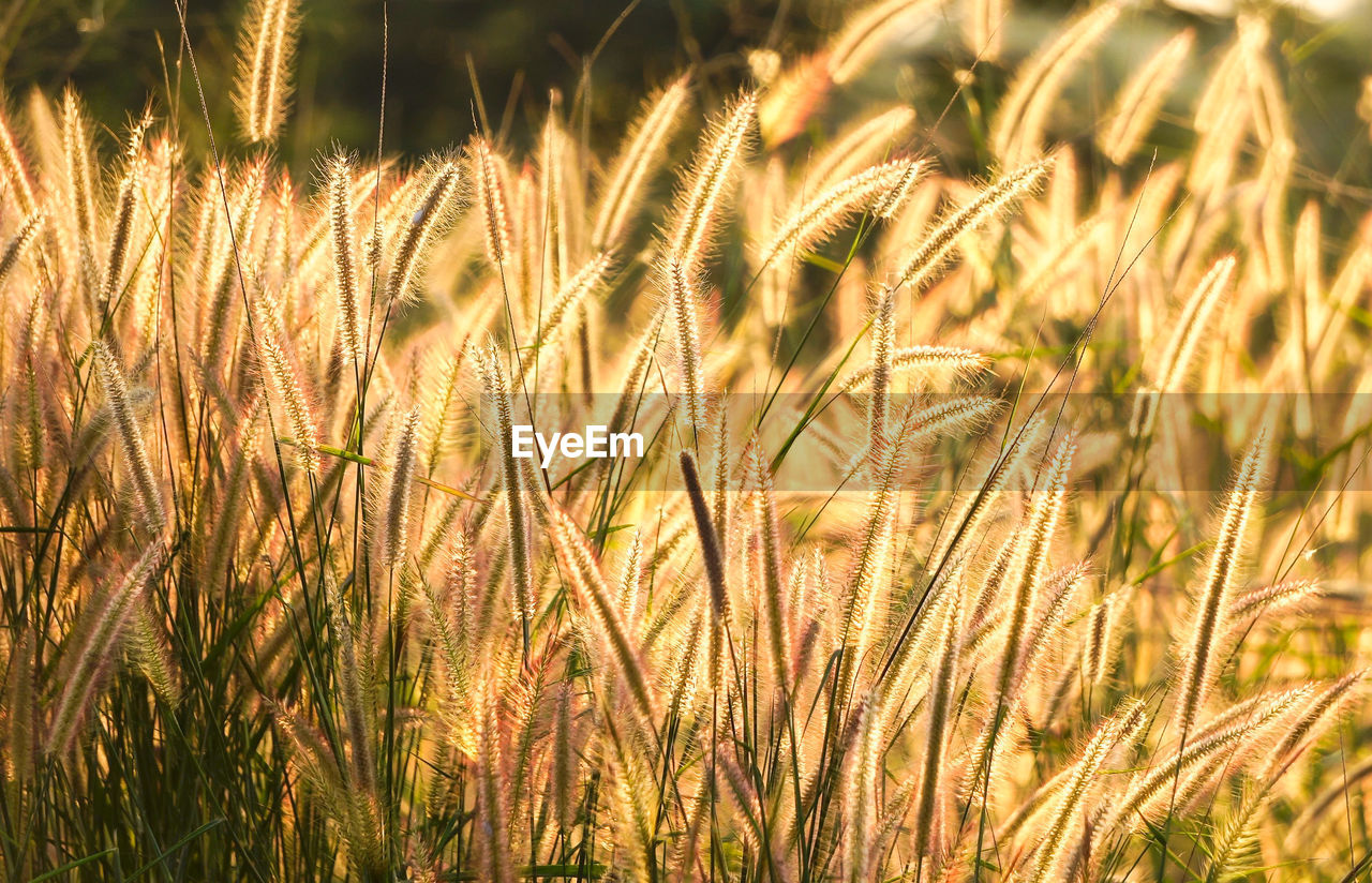 plant, growth, agriculture, cereal plant, crop, field, land, rural scene, farm, nature, beauty in nature, landscape, close-up, wheat, sunlight, day, no people, tranquility, focus on foreground, outdoors, stalk