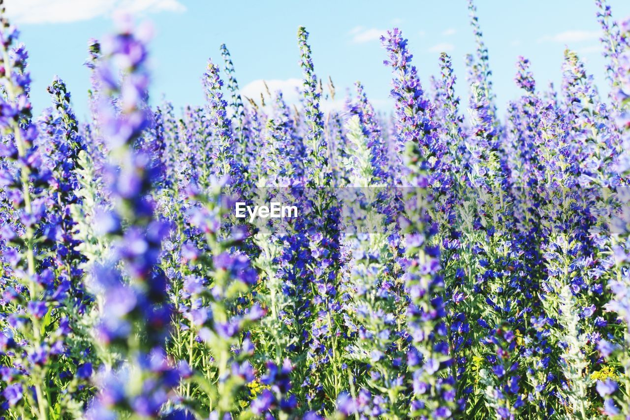 flowering plant, flower, plant, vulnerability, fragility, growth, beauty in nature, purple, freshness, selective focus, lavender, day, no people, close-up, nature, field, lavender colored, land, blue, abundance, springtime, flower head
